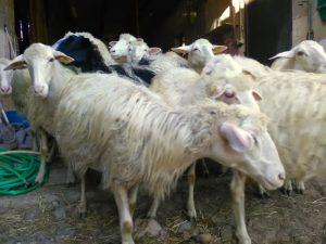 03-pecore-vanno-alla-mungitura